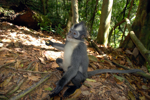 Thomas's Langur Affen im Gunung Leuser Nationalpark