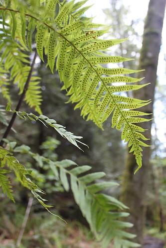 Cougar Mountain - De Leo Wall Trail - Fern Spores (Close)