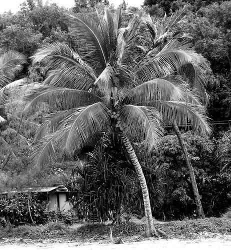 kalihiwae palmtree