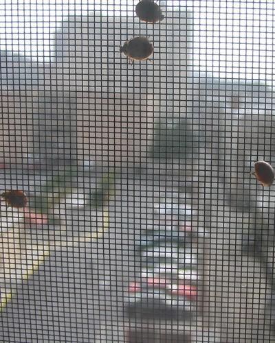 Lady Bug Invasion