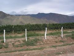 Les vignes de vin blanc serrées au pied de la cordillere. Une beauté. Saviez vous que seulement 8 proprietaires se partagent la production du vin ici? Don David et echard semblent les plus reputées.