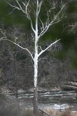 rivertree