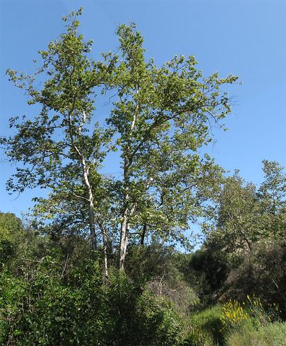 Santa Ynez Trail Tree Photomerge