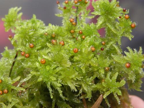 Sphagnum tenellum, con esporófitos
