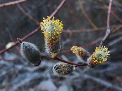 Willow buds