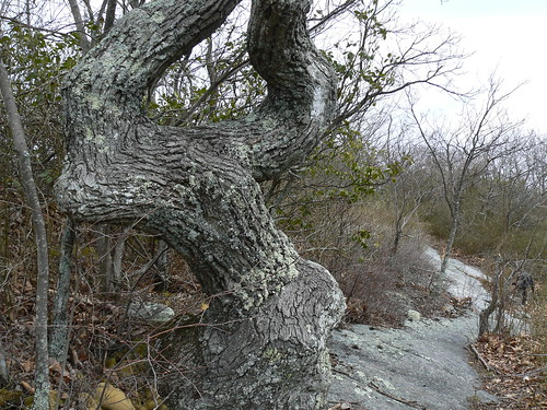 Sinking Creek Mountain - Wind Mangled Tree (Heading Northbound)