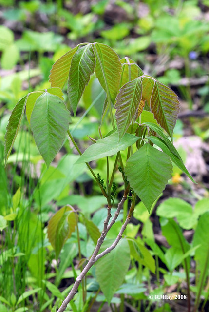 Poison Ivy, noxious weed, allergic reaction,urushiol, plant, leaves of three