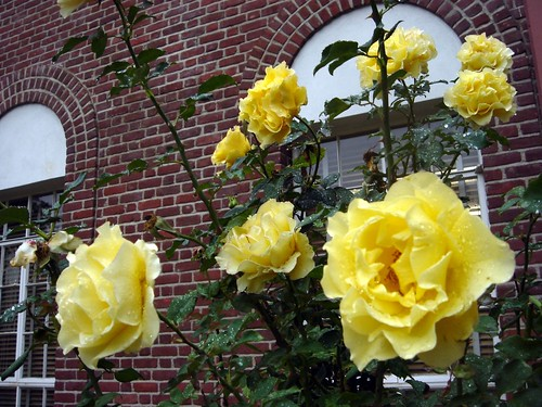 roses staying in their place, outside a catholic church during the first rain