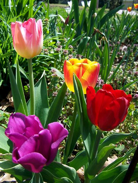 Multi-Tulips