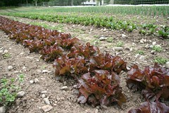 red Boston lettuce, red cross variety
