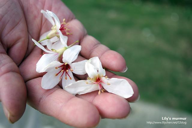 老媽的手跟落下的桐花,很喜歡這一張。