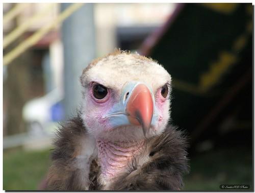 Vulture / Buitre