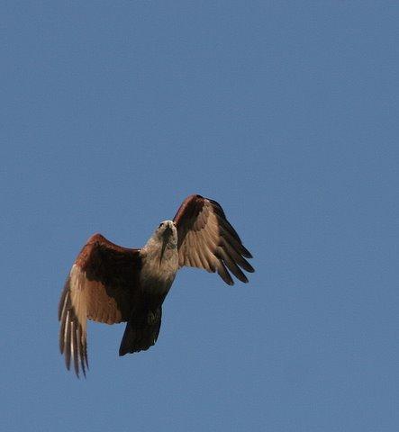 brahminy kite beak shadow