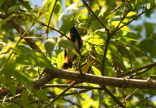 American Redstart and Yellow Warbler