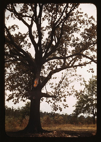 [Tree in a rural area] (LOC) por The Library of Congress