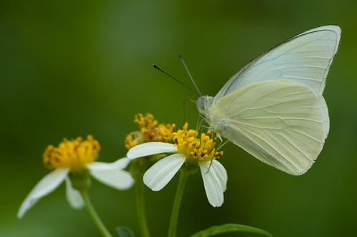 Appias albina semperi