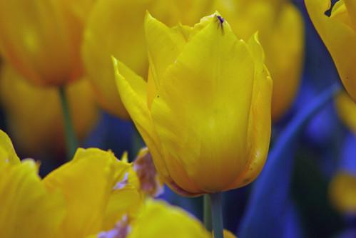 yellow tulips, istanbul tulip festival, pentax k10d