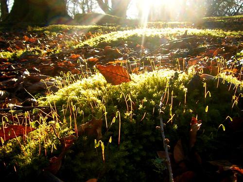 Moss Spores in Sunlight
