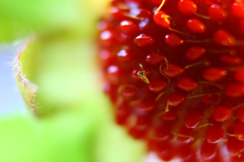 Macro ornamental strawberry by olmjohns
