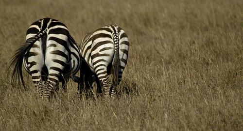 Zebra Arse