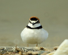 Turillo [Collared Plover] (Charadrius collaris)