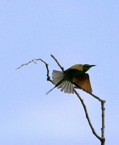 "bee-eater ""fantail"""
