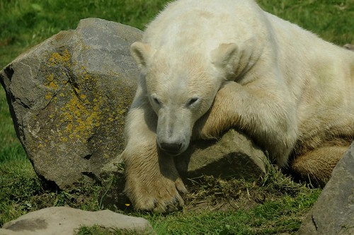 Eisbär Henk im Dierenrijk in Nuenen