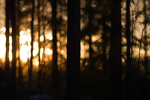 Sun rises through forest
