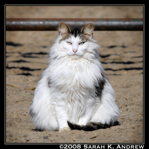 Beware of the Fluffy Barn Cat!
