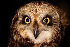 Short-eared Owl by Tom LeBlanc