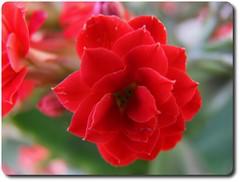 A Little Red Flower - Mały Czerwony Kwiatek