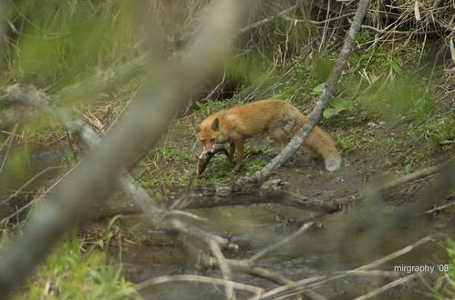 Fox fishing near Kiritappu Info Centre