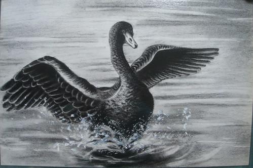 蔡老師_展翅的黑天鵝