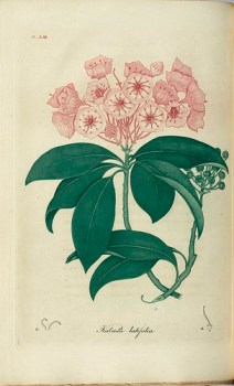 Mountain laurel (botanical illustrations) - Photo : uwdigitalcollections