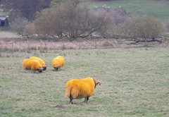 Hi-vis-sheep