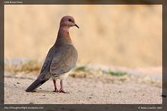 Little Brown Dove
