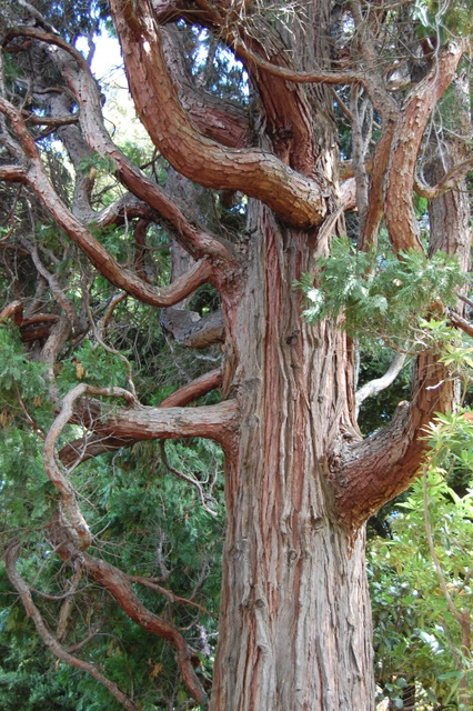 Calocedrus decurrens (Incense Cedar)