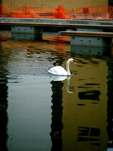 Swan Reflection in Canal
