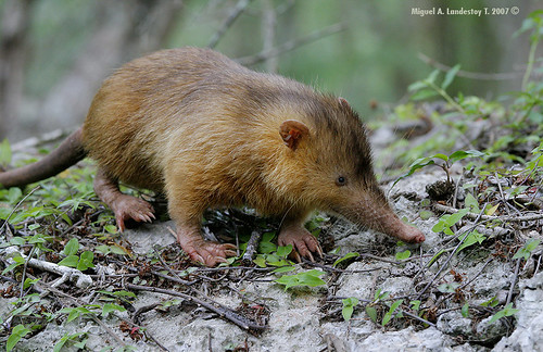The Hispaniolan Solenodon, Solenodon paradoxus, is one of the rarest mammals on Earth. And its poisonous.