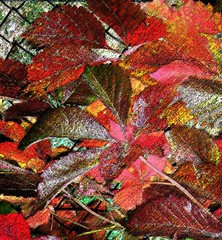 Virginia Creeper Abstract