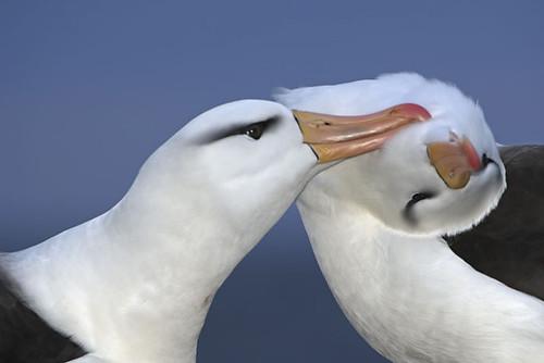cortejo de albatros