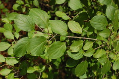 Common buckthorn leaves