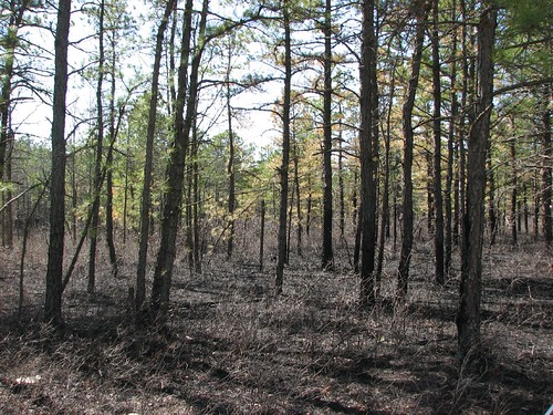 fire scorched pine barrens