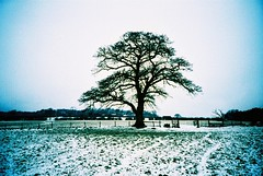 ashridge snow #3 - oak tree