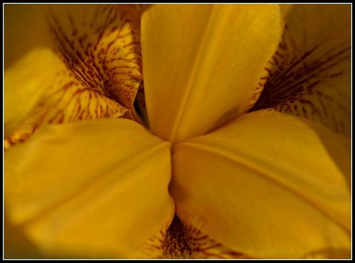 Garden Iris, A History Exposed