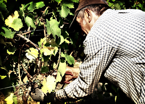 Harvesting Reisling grapes in Leelanau