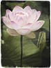 "Lotus, antiqued • <a style=""font-size:0.8em;"" href=""http://www.flickr.com/photos/24419989@N07/2766184169/"" target=""_blank"">View on Flickr</a>"