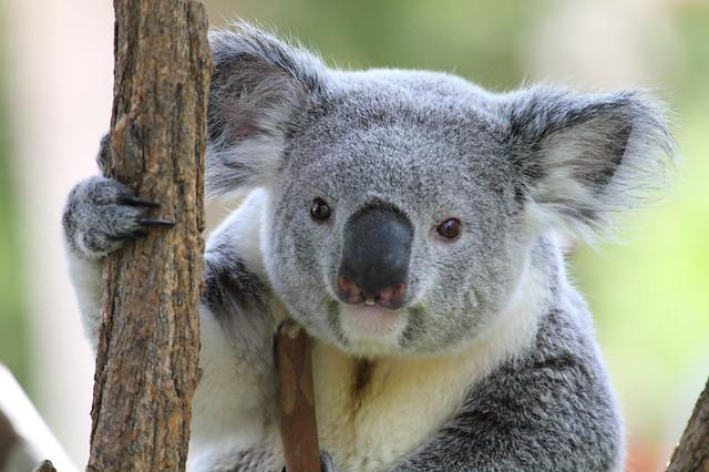 Little Imp... errr, Koala