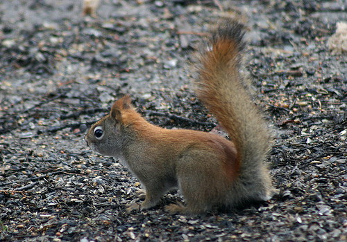 RedSquirrel1