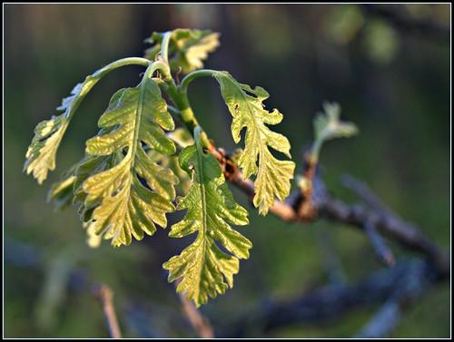 Unfurling White Oak Leaves